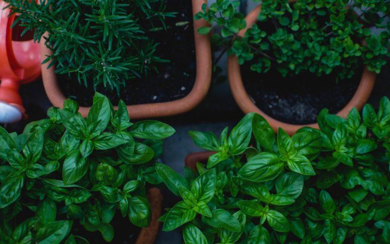 Polskie zioła – jakie zioła i przyprawy możesz hodować w ogródku